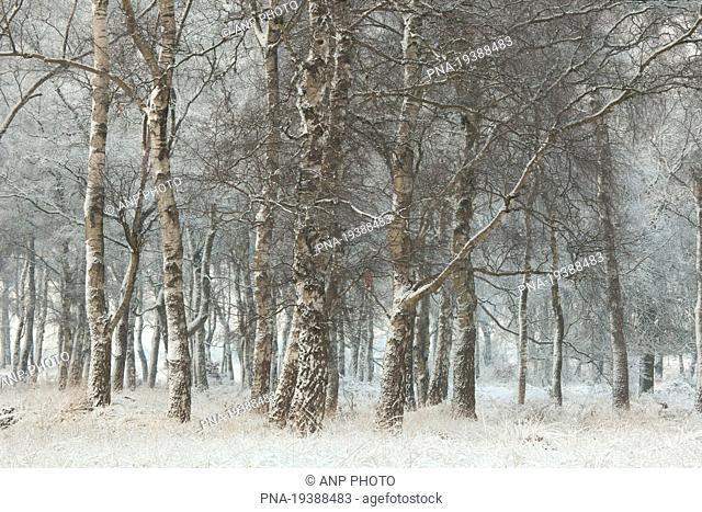 Birch Betula - Veluwe, Gelderland, Guelders, The Netherlands, Holland, Europe
