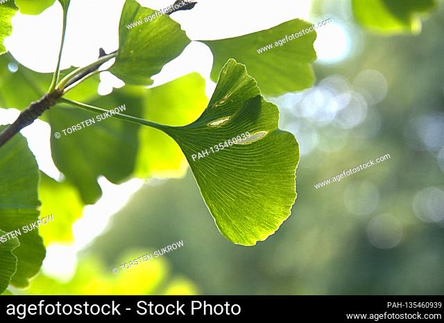 09/10/2020, Schleswig, Close-up of some ginkgo leaves on a ginkgo tree. Shot in fine weather and sunshine in late summer
