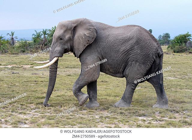 A male African elephant (Loxodonta africana) in Amboseli National Park in Kenya
