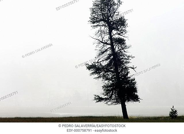 Lonely tree in Yellowstone National Park, Usa