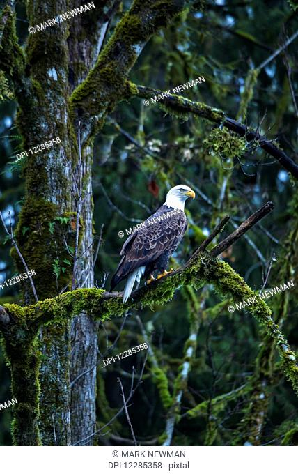 Bald Eagle perched in a tree, Skagit River Valley, Washington state, USA