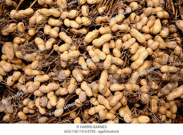 Agriculture - Closeup of inverted peanut plants, dried and for ready harvest / Georgia, USA