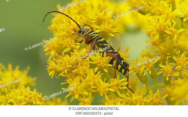 A Locust Borer (Megacyllene robiniae) beetle feeds on Goldenrod in late summer
