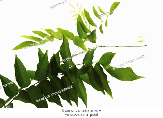 Chinese Wistereia Leaves, Wisteria Sinensis