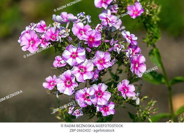 Phlox paniculata 'Margri' blooming