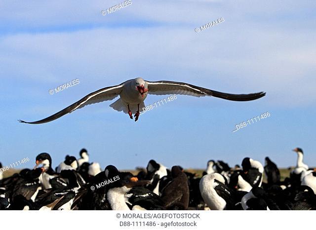 Dolphin Gull (Larus scoresbii). Pebble Island, Falkland Islands