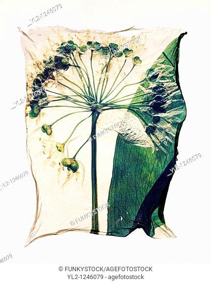 Pressed Ramsons  Allium ursinum - Wild flowers Wild Garlic- Polaroid lift