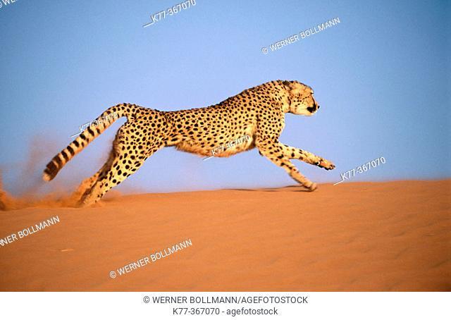 Cheetah running (Acinonyx jubatus) in captivity. Game Farm. Namibia