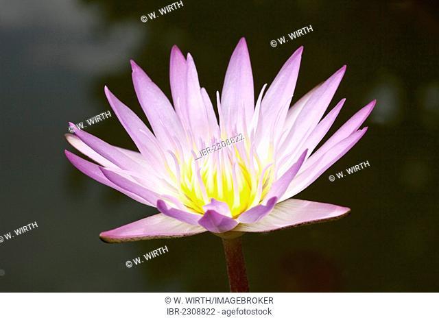 Water Lily (Nymphaea sp.), Westfalenpark, Dortmund, North Rhine-Westphalia, Germany, Europe