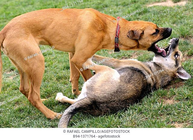 German Shepherd and Rhodesian Ridgeback dogs playing on the grass. Plaça de Lesseps, Barcelona, Catalonia, Spain