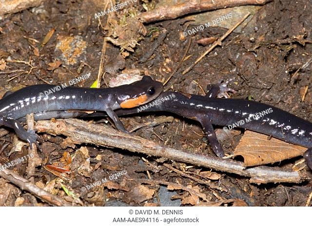 Red-cheeked Salamander, Plethodon jordani, Tail walk courtship, Chimney Tops Trail, Great Smokey Mountains National Park, Tennessee