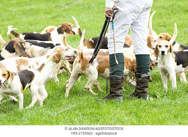 Beagle hunting dogs at Kildale agricultural show. Kildale, North Yorkshire, England, United Kingdom