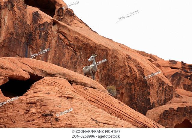 Dickhornschaf Valley of Fire Nevada