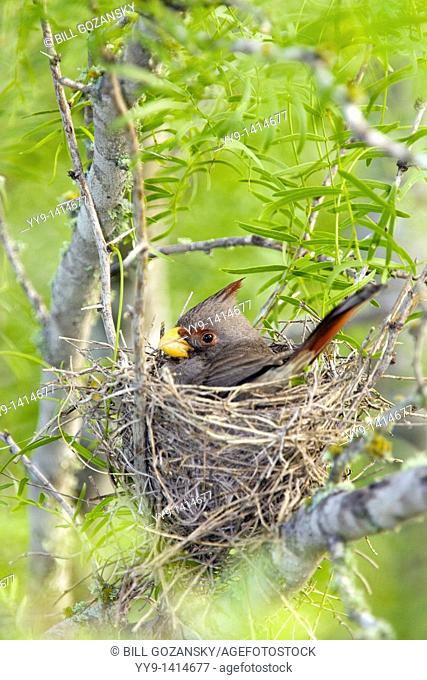 Pyrrhuloxia on nest - Los Novios Ranch - near Cotulla, Texas USA