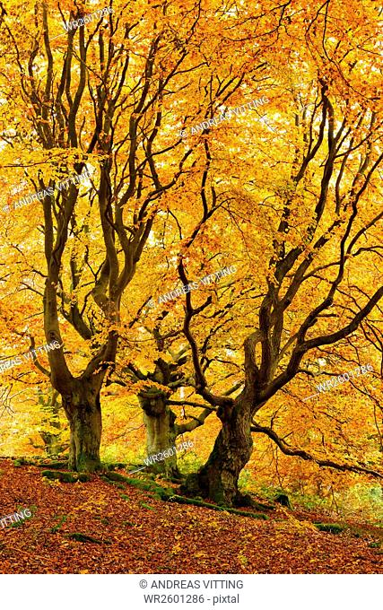 Old crooked, knobby beech and oak trees in a former pastoral forest in autumn, Nature Park Kellerwald-Edersee, Hesse, Germany