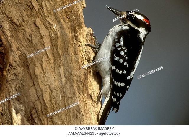 Hairy Woodpecker (Picoides villosus) Male Illinois