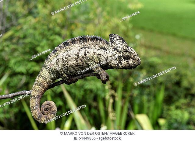 Malagasy giant chameleon (Furcifer oustaleti), female, RN7, Talata-Ampano, Madagascar