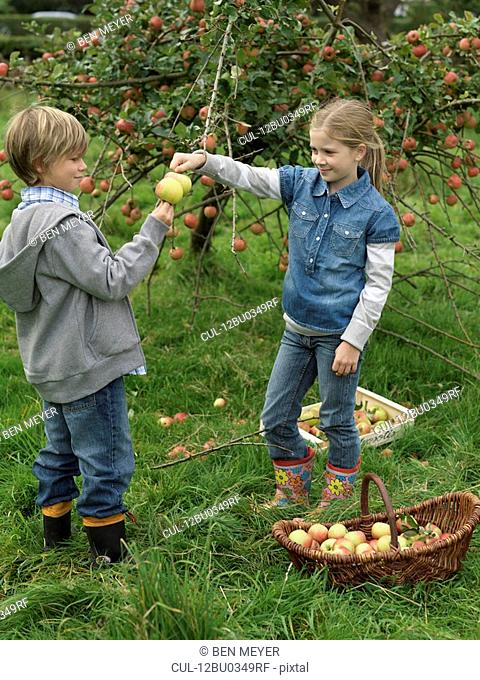 Girl and boy picking apples together