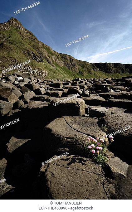 Northern Ireland, County Antrim, Giants Causeway, Flowers amongst the interlocking basalt columns of the Giants Causeway