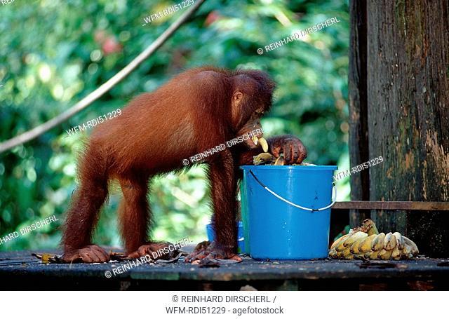 Orang-Utan, Pongo pygmaeus, Borneo Sabah Sepilok, Malaysia