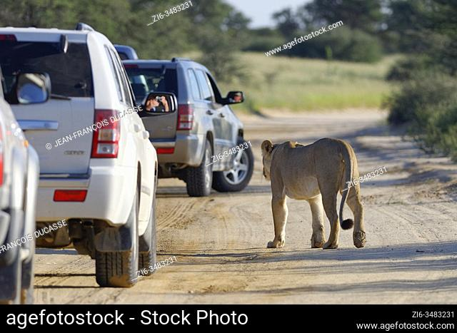 Lioness (Panthera leo), adult female, crossing a sand road, in the midst of all-wheel drive vehicles, Kgalagadi Transfrontier Park, Northern Cape, South Africa