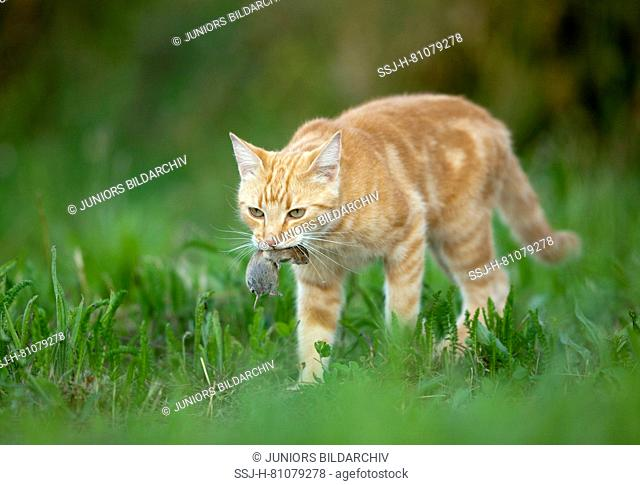 Domestic Cat. Red-tabby adult with mouse prey walking. Germany