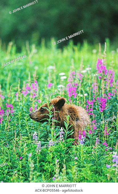 Grizzly bear in a field of fireweed and arctic lupine, northern British Columbia, Canada