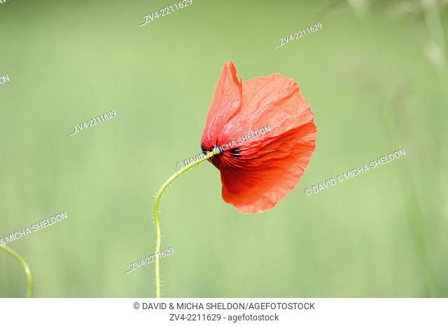 Close-up of a corn poppy (Papaver rhoeas) blossom in a cornfield in spring