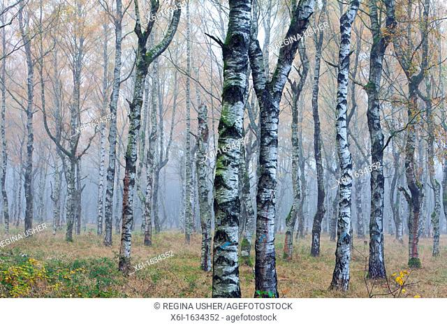 Silver Birch Tree Betula Pendula, woodland in Autumn Mist, Hessen, Germany