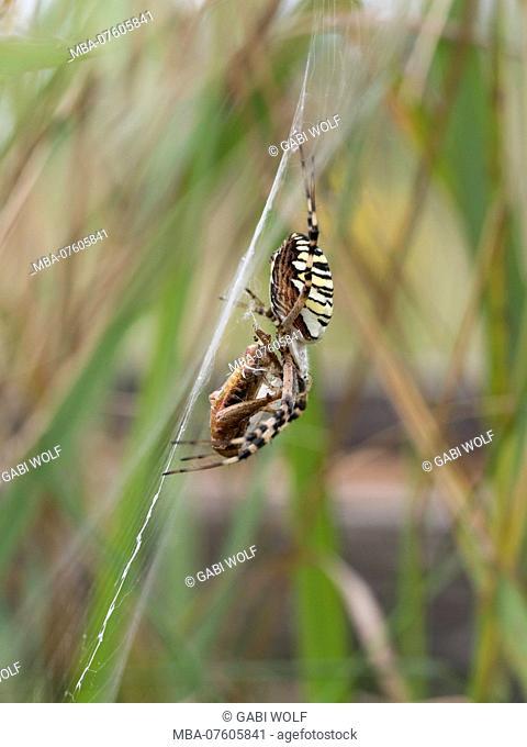 Wasp spider, Argiope bruennichi, female with prey in the net