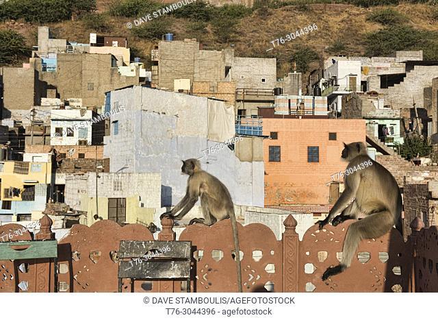 Gray langur monkeys in the morning sun, Jodhpur, Rajasthan, India