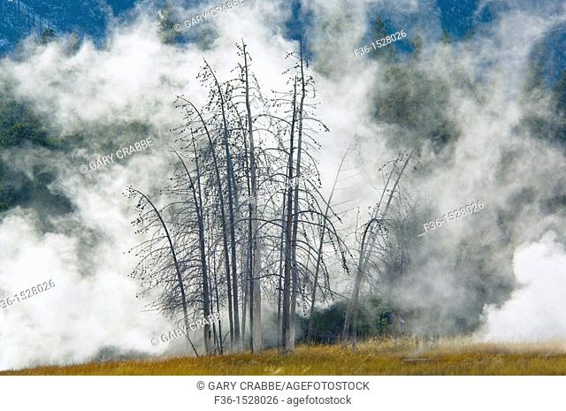 Geothermal steam behind trees, Upper Geyser Basin, Yellowstone National Park, Wyoming