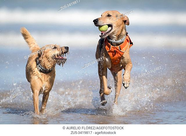The dog (Canis lupus familiaris), called domestic dog or can, 4 and colloquially chucho or tuso, and also choco, is a carnivorous mammal of the family of canids