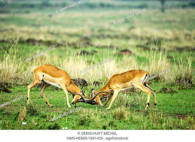Kenya, Masai-Mara game reserve, Impala (Aepyceros melampus), males fighting