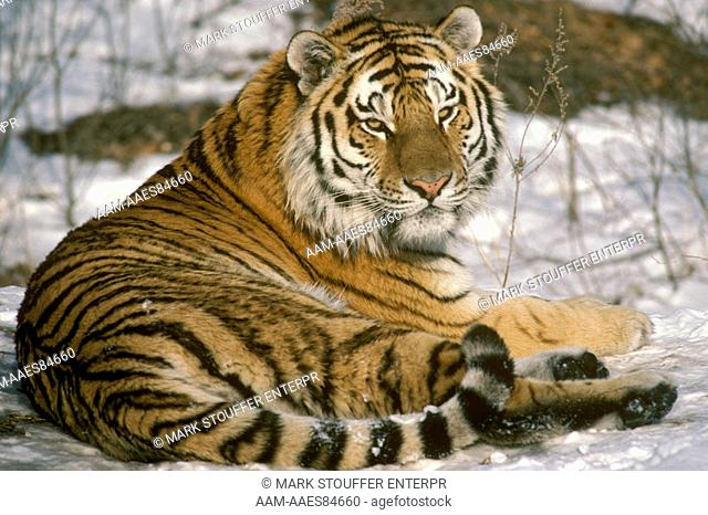 Siberian Tiger in Snow (P. tigris altaica), Far East, Russia