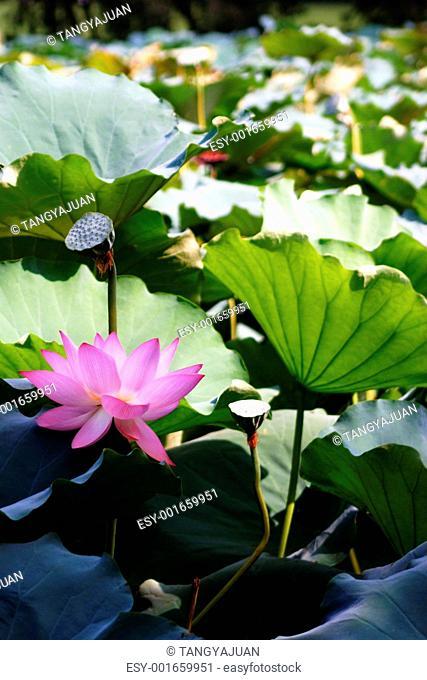 lotus lotiform