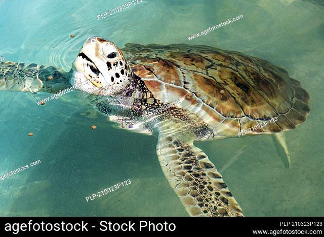Hawksbill sea turtle (Eretmochelys imbricata) swimming at Tortugranja, sea turtle sanctuary on Isla Mujeres, Quintana Roo, Yucatán Peninsula, Mexico