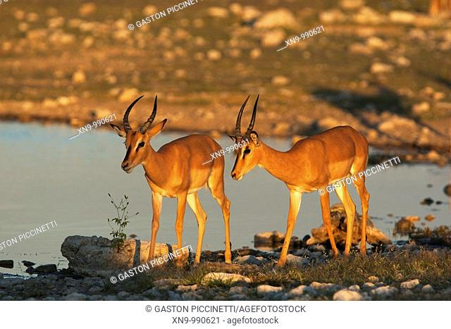 Black-faced impalas Aepyceros melampus , Etosha National Park, Namibia