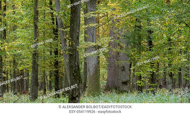 Old and huge english oaks in autumn, Bialowieza Forest, Poland, Europe