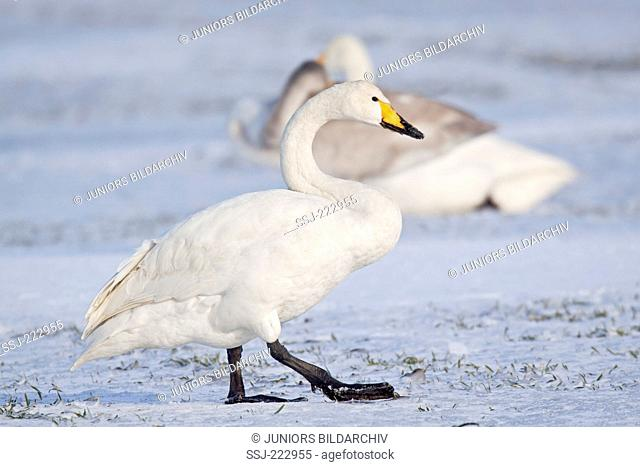 Whooper Swan (Cygnus cygnus) standing on a snowy meadow during the migration, Schleswig-Holstein, Germany