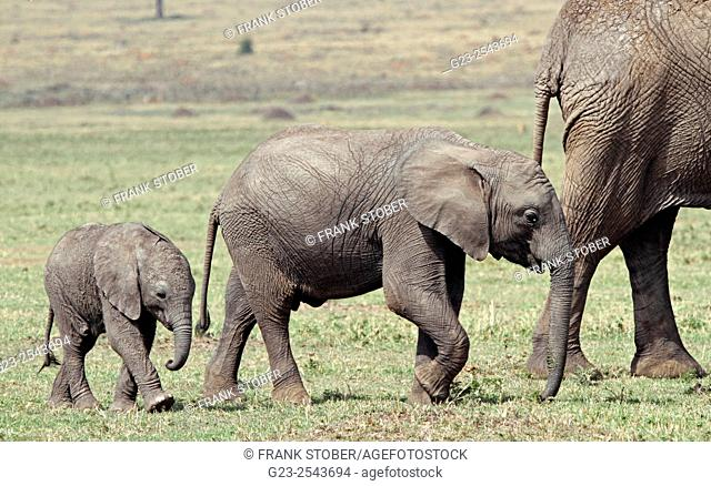 African Elephant with calves. Maasai Mara, Kenya