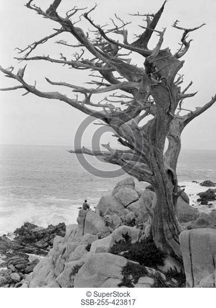 Dead Cypress tree on cliff