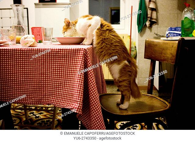 Cat eating from the plate on the kitchen table