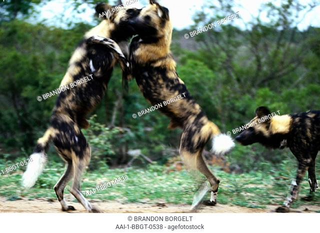 Wild Dogs, Kruger National Park, Mpumalanga, South Africa