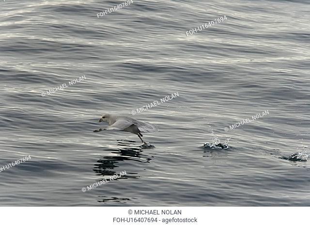 Northern fulmar Fulmarus glacialis taking flight in the Barents Sea in the Svalbard Archipelago, Norway