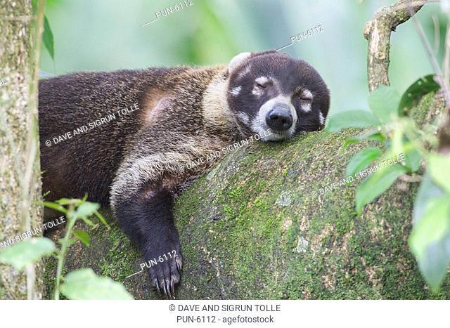 White-nosed coati Nasua narica sleeping on a branch