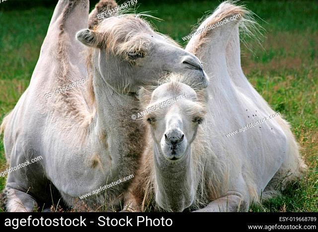 Liebe unter Kamelen