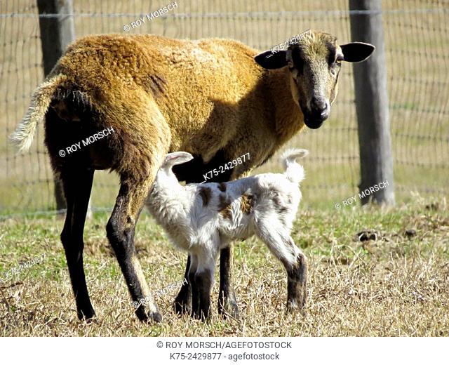 domestic goats, Capra aegagrus hicus