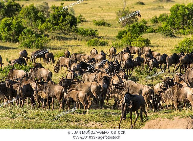 Herd of wildebeest. Masai Mara NP