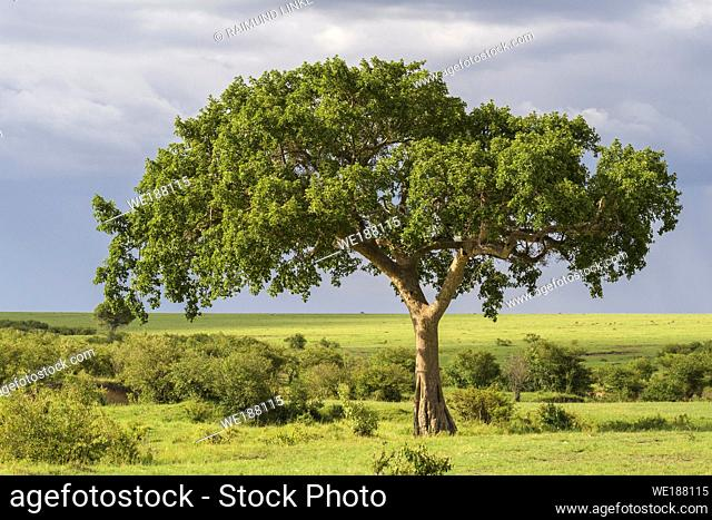 Fig tree in savannah, Masai Mara National Reserve, Kenya, Africa